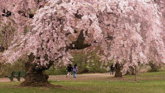 Newark_cherry_blossoms