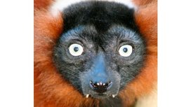 Red_ruffed_lemur_at_edinburgh_zoo.jpg_jpeg_image_2071x3106_pixels_-_scaled_16_