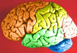 Brain_colored