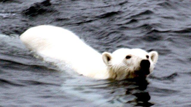 Polar_bear_arctic2