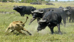 Cape_buffalo_big_think