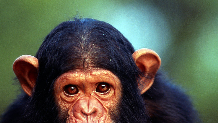 All Gov't Research Chimpanzees to Get Legal Protection. Era of Scientific Research Ends. | Big Think