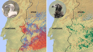 Smart vultures never, ever cross the Spain-Portugal border. Why?