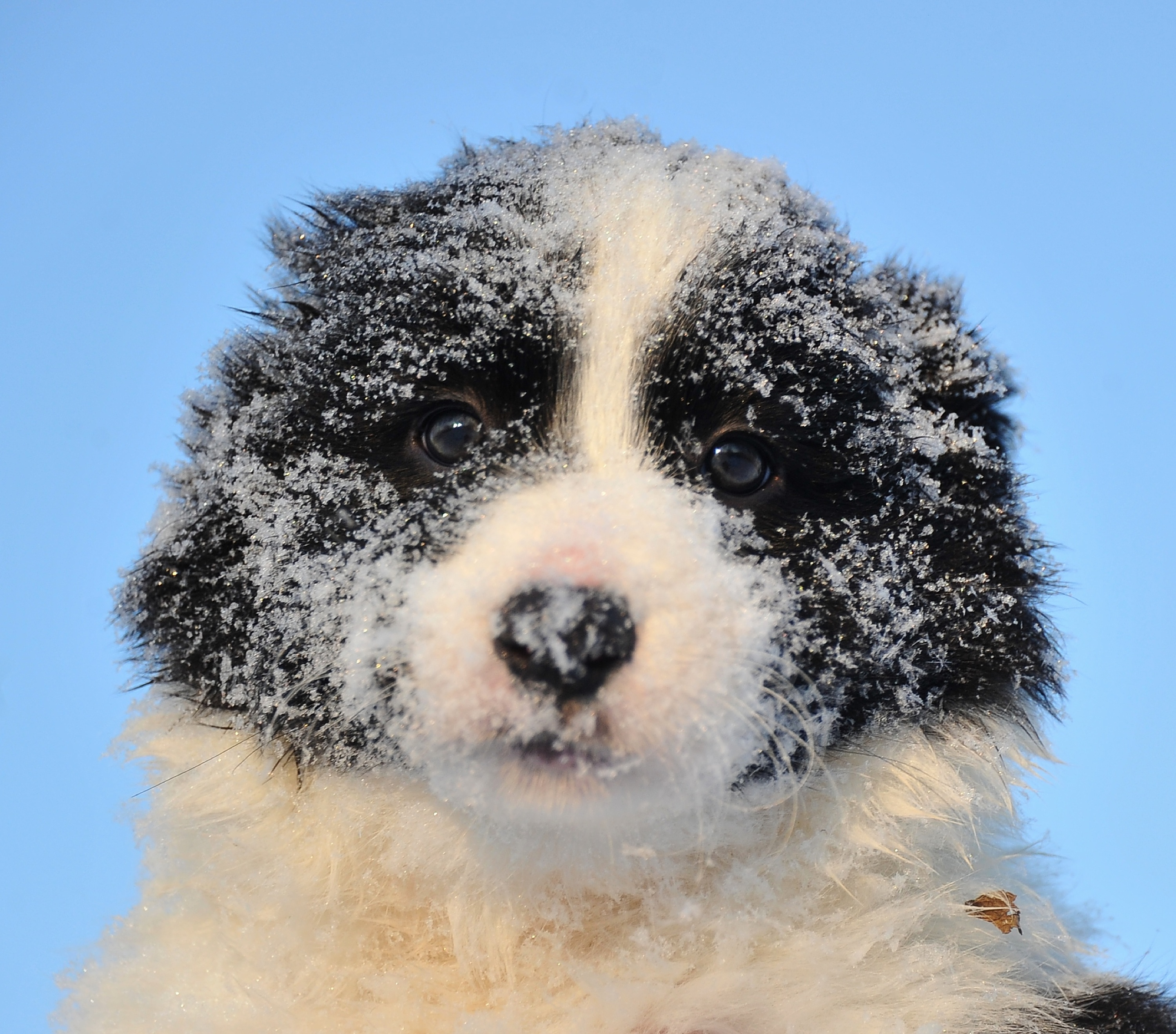 Eleeven-week old Border Collie puppy rests after play in Slovakia