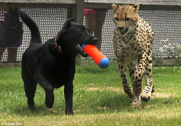 Cheetah and lab, playing. Image: Dallas Zoo