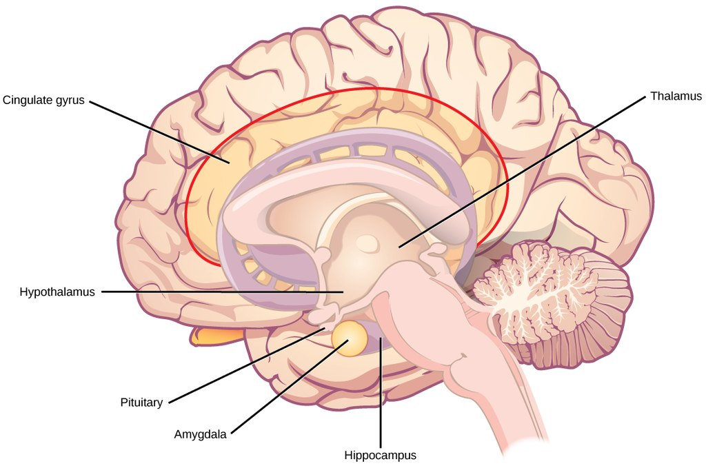 Human brain cells dont continue to grow into adulthood according model of the brain ccuart Images